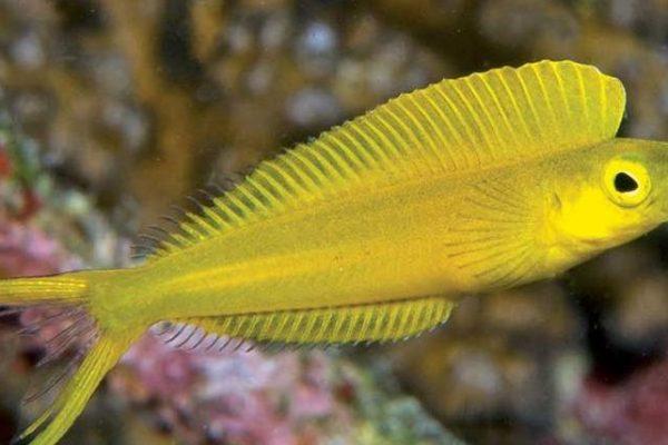 Veneno de este pez podría ser la fuente de nuevo analgésico