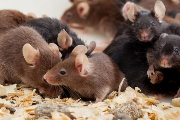 Descubren primer tratamiento específico para combatir el virus hanta