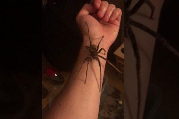 Vea el escalofriante video de un hombre sosteniendo la araña más venenosa del mundo