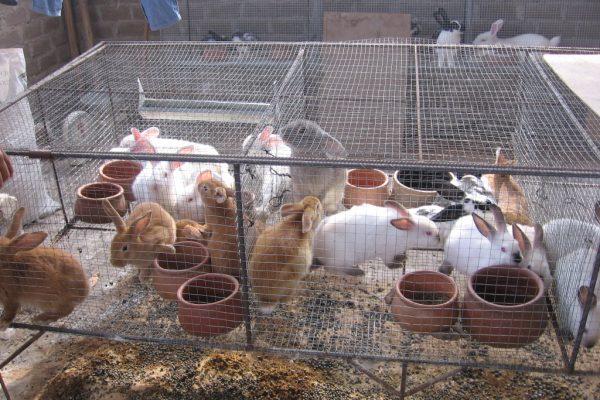 Maduro crea «Plan Conejo» para garantizar el consumo de proteína animal en el país