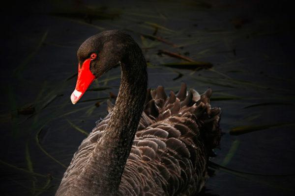 El cisne negro que sacude los mercados