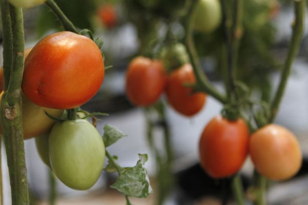 Plan de Heinz proyecta aumentar 50% producción de tomate