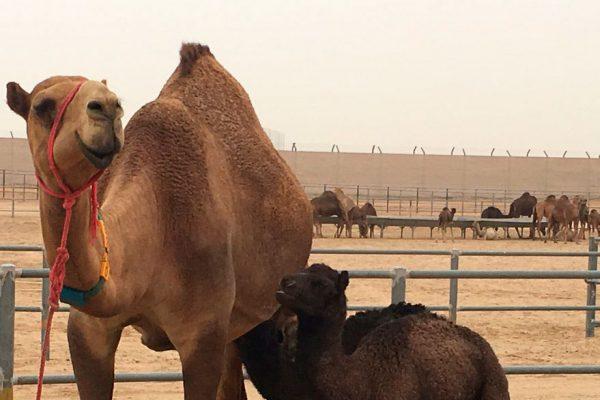 Emiratos Árabes pone a la venta leche de camello para bebés