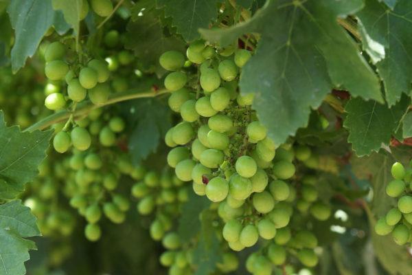 Lima, cuna del primer viñedo y del primer vino de Suramérica