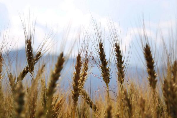 FAO: América Latina tendrá en 2019 su mejor cosecha cerealera en un lustro