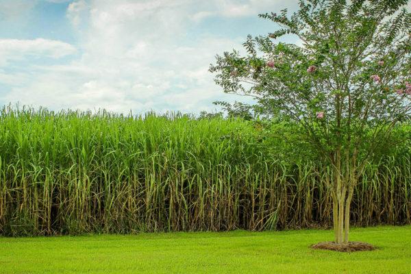Centrales del gobierno molieron solo 1,8% de la caña de azúcar producida en el país