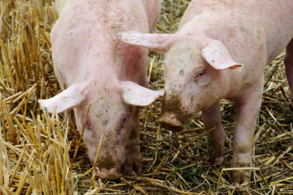 Denuncian desaparición de granjas porcinas mientras los que quedan se organizan para sobrevivir