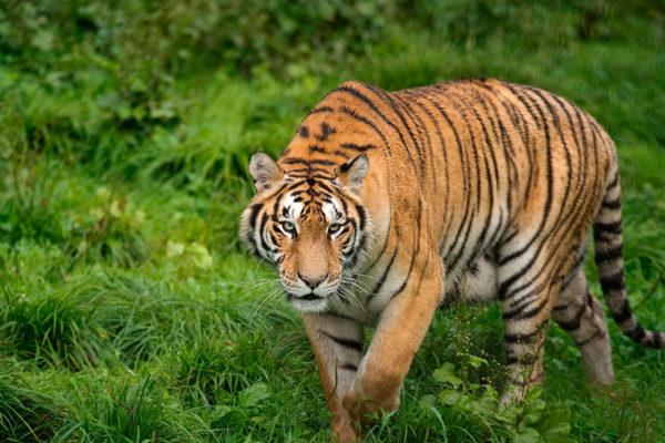 China legaliza comercio de productos a base de tigre o rinoceronte