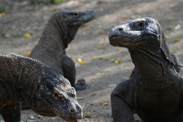 Ver de cerca un dragón de Komodo pronto podría costar $500