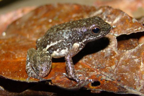 Descubren nueva especie de sapo miniatura en Yaracuy
