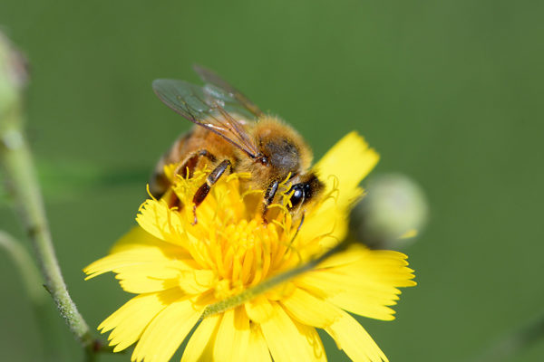 FAO insta a defender las abejas, aliadas claves en la lucha contra el hambre
