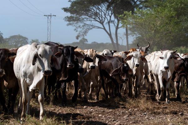 Por falta de diésel: distribución de ganado y queso a centros de consumo está paralizada
