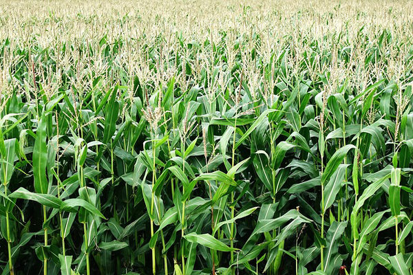 Precios regulados al productor y carencia de insumos hacen inviable siembra de maíz y arroz
