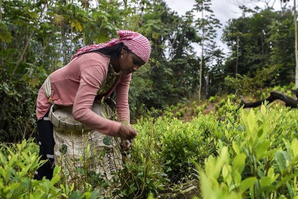 Cultivo de coca baja en Colombia pero aumenta en la frontera con Venezuela