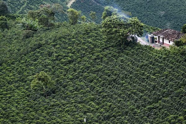 Colombia obtuvo su mejor cosecha de café en 25 años