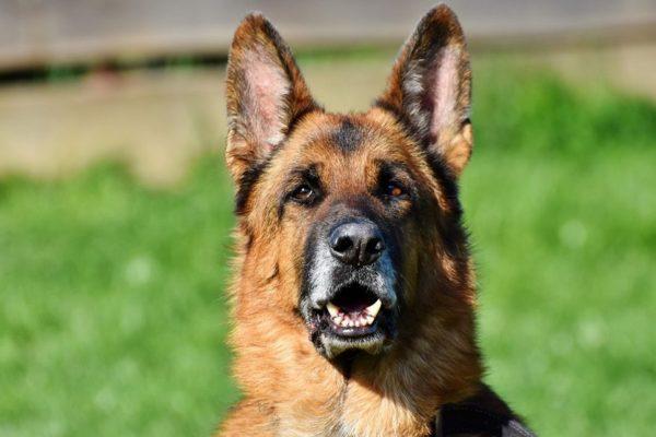 Muere Buddy, el primer perro contagiado por #Covid19 en EE.UU