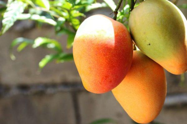 Venezuela inicia exportación de mangos y piñas a Irán