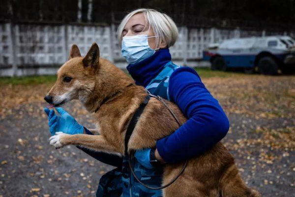 En Rusia, «perros chacales» aprenden a detectar #Covid19