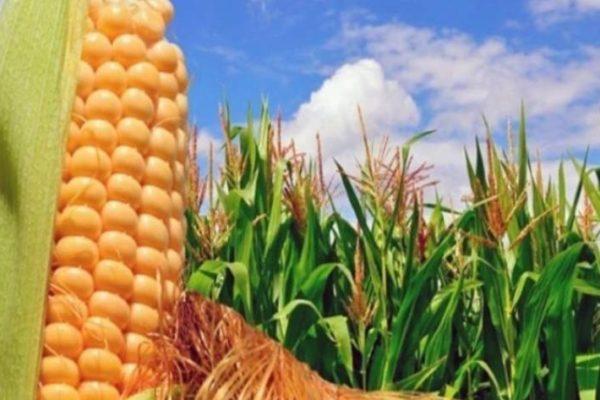 720.000 hectáreas: Gobierno garantiza producción de maíz con semilla nacional