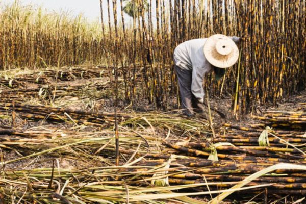 Fesoca: se perdieron alrededor de 350.000 toneladas de caña de azúcar por déficit de gasoil