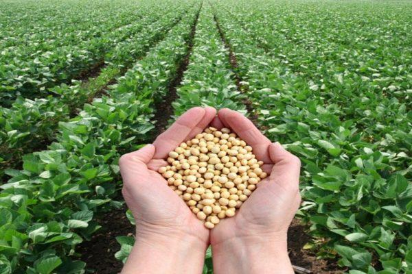 Venezuela ensaya producción de soya en el estado Falcón