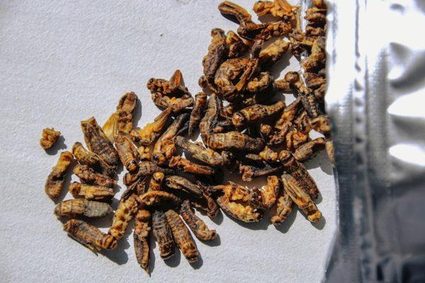 Nueva fuente de proteína barata y sostenible: Supermercados de Portugal venderán insectos