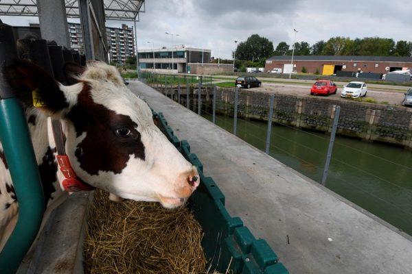 «El futuro de la ganadería»: La granja flotante con la que pretenden mitigar el cambio climático en Países Bajos